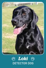 Photo shows detector dog Loki